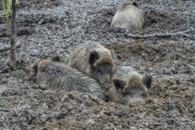 Wildschwein kuscheln - Wildschwein, Wisentgehege, Animal, Tiere