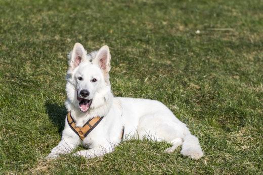 Weisser Schweizer Schäferhund, Berger Blanc Suisse, Hundeshooting, Hund, Dog, white, Beverungen